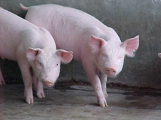 cerdo-sociable
